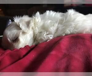 Maltese Puppy for sale in EDMOND, OK, USA