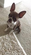 Boston Terrier Puppy For Sale in MALDEN, MA, USA