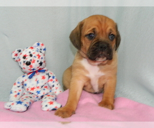 Puggle Puppy for Sale in WARSAW, New York USA