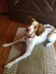 Brittany Puppy For Sale in WADSWORTH, OH, USA
