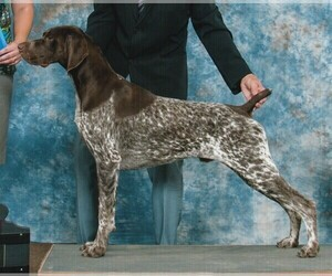 Medium German Shorthaired Pointer