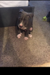 American Bully Puppy For Sale in HOUSTON, TX