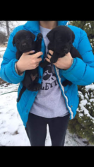 Labrador Retriever Puppy For Sale in MORAVIA, IA