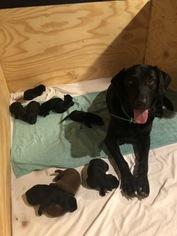 Labrador Retriever Puppy For Sale in MONTGOMERY, TX, USA