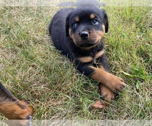 Rottweiler Puppy for Sale in EAST CANTON, Ohio USA