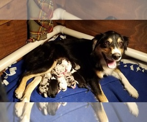 Australian Shepherd Puppy for sale in GR, MI, USA
