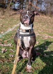River - American Staffordshire Terrier / American Bulldog / Mixed Dog For Adoption
