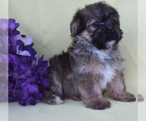 Poodle (Toy)-Yorkshire Terrier Mix Puppy for sale in MILLERSBURG, OH, USA