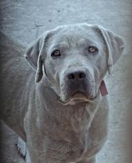 Father of the Labrador Retriever puppies born on 03/25/2019