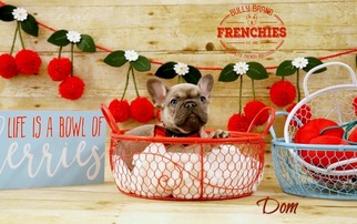 French Bulldog Puppy For Sale in POMPANO BEACH, FL, USA