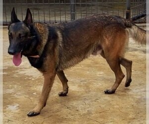 Father of the Belgian Malinois puppies born on 02/04/2019