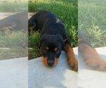 Small #55 Rottweiler