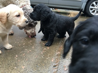 Labradoodle Puppy For Sale in WOODLAND, WA