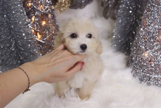 Maltipoo Puppy For Sale in LAS VEGAS, NV, USA