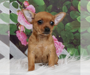 Chihuahua Puppy for Sale in WARSAW, Indiana USA