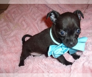 Chihuahua Dog for Adoption in JACKSON, Mississippi USA