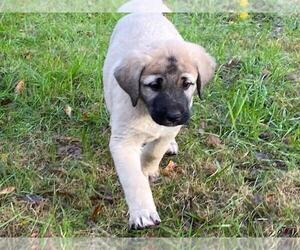 Anatolian Shepherd Puppy for sale in ELLERSLIE, GA, USA