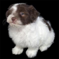 View Ad: Havanese Puppy for Sale near Missouri, FENTON, USA