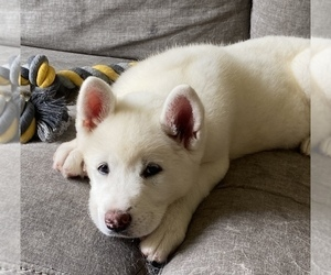 Akita Puppy for sale in OCEANSIDE, CA, USA