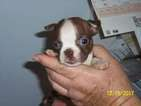 Boston Terrier Puppy For Sale in TUCSON, AZ,