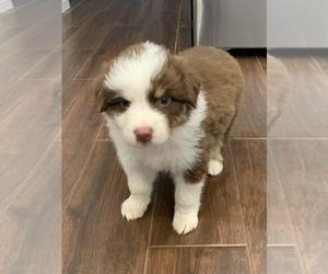 Australian Shepherd Puppy for sale in HEMET, CA, USA