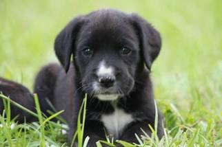 View Ad Boxer Golden Retriever Mix Puppy For Sale Near Georgia