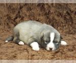 Small #1 Wolf Hybrid