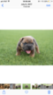 English Bulldog Puppy For Sale in OKLAHOMA CITY, OK, USA