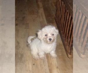 Zuchon Puppy for sale in INGLESIDE, TX, USA