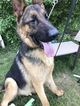 German Shepherd Dog Puppy For Sale in BOSTON, MA,