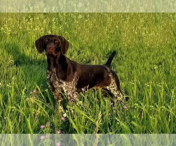 Medium Photo #1 German Shorthaired Pointer Puppy For Sale in BLMGTN, IN, USA