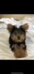 Yorkshire Terrier Puppy For Sale in WOODBRIDGE, Virginia,