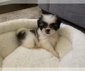 Shih Tzu Dog for Adoption in DECATUR, Georgia USA