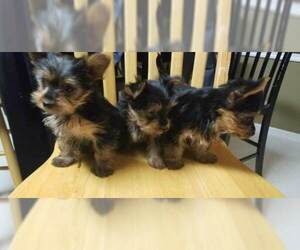 Yorkshire Terrier Puppy for Sale in SUWANEE, Georgia USA
