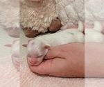 Puppy 4 Mal-Shi