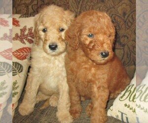 Goldendoodle Puppy for Sale in LINCOLN, Alabama USA