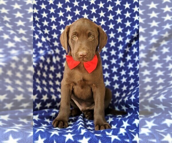 View Ad: Labrador Retriever Puppy for Sale near In Italy