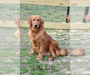 Mother of the Golden Retriever puppies born on 07/02/2021