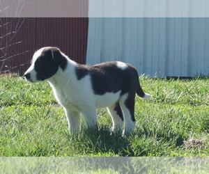 Border-Aussie Puppy for sale in BRLNGTON JCTN, MO, USA