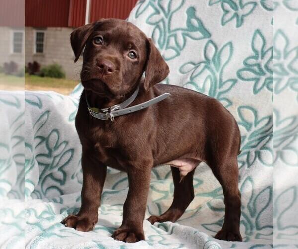 View Ad: Labrador Retriever Puppy for Sale near In Greece
