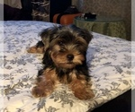 Small #2 Poodle (Toy)-Yorkshire Terrier Mix