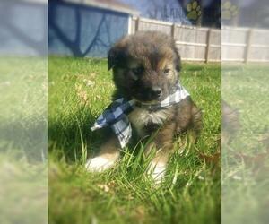 Border-Aussie Puppy for Sale in EASTBOROUGH, Kansas USA