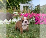 Puppy 7 English Bulldog