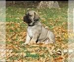 Puppy 4 Boerboel
