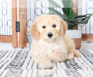 Goldendoodle Puppy for Sale in NAPLES, Florida USA