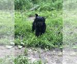 Puppy 7 Sheepadoodle