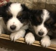 Miniature Australian Shepherd Puppy For Sale in STONEHAM, ME, USA