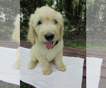 Goldendoodle Puppy For Sale in WAYNESVILLE, MO, USA