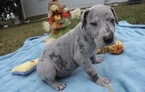Great Dane Puppy For Sale in ATLANTA, GA