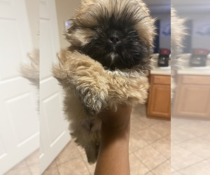 Shih Tzu Puppy for Sale in PENSACOLA, Florida USA